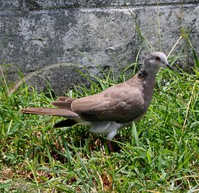 Description de l'image Streptopelia bitorquata -Saipan-8.jpg.
