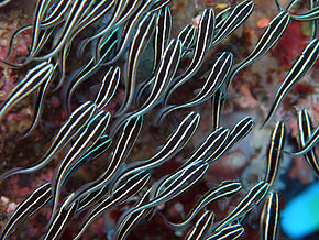 Description de l'image  Image:Striped eel catfish.jpg.
