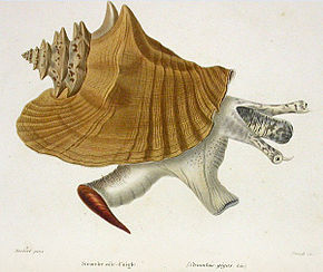 alt=Description de l'image Strombus gigas Kiener 1843.jpg.