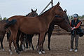 Studfarm in Turkmenistan - Flickr - Kerri-Jo (76).jpg