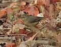 Sulpher-bellied Warbler (Phylloscopus griseolus) W IMG 4562.jpg