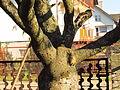 Sumak octowiec, 29 październik. Korona drzewa ma dobrą podstawę..jpg