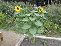 Sunflowers in Oxton Fields (1).jpg