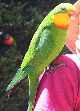 Superb parrot email.jpg