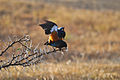 Superb starling Act 2.jpg