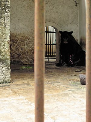 Surabaya Zoo - This American black bear in Surabaya Zoo suffers from skin disease common among captive bears not properly cared for.