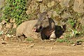 Sus scrofa - Wild boar during Periyar butterfly survey at Sabarimala, 2014 (28).jpg