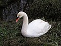 Swan, Lower Test nature reserve - geograph.org.uk - 366938.jpg