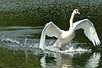 Swan - Stanborough Lakes (29186637331).jpg