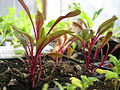 Swiss-Chard-Seedlings 1641.JPG