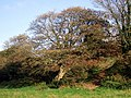 Sycamore in October - geograph.org.uk - 1552452.jpg