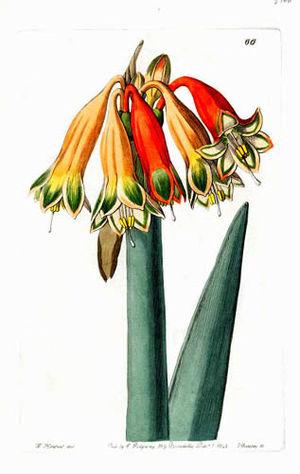 Sydenham Edwards - Coburgia versicolor Herb.