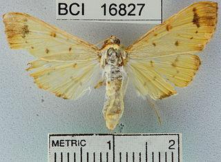 <i>Syllepte</i> Genus of moths