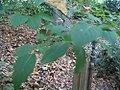 Syringa reticulata mandshurica 1zz.jpg