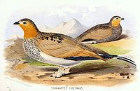 Syrrhaptes tibetanus.jpg