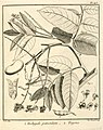 Tachigali paniculata Aublet 1775 pl 143.jpg