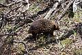 Tachyglossus aculeatus (Short-beaked Echidna), Moora Track, Grampians National Park, Victoria Australia (5044244556).jpg
