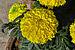 Tagetes erecta 26122014 (2).jpg
