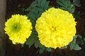 Tagetes erecta Marigold flower at Madhurawada 05.JPG