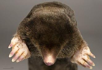 European mole - Image: Talpa europaea MHNT Tete