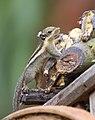 Tamiops mcclellandii - Kaeng Krachan.jpg