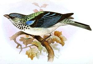 Cabanis's tanager