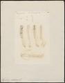 Tapirus indicus - gebit - 1700-1880 - Print - Iconographia Zoologica - Special Collections University of Amsterdam - UBA01 IZ22000297.tif