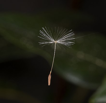 Dandelion seeds are contained within achenes, which can be carried long distances by the wind.