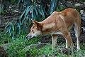 Taronga Dingo (2785724553).jpg