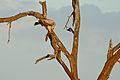 Tawny Eagle (Aquila rapax) juvenile eating a White-throated Monitor Lizard (Varanus albigularis) (16517371167).jpg