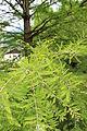 Taxodium distichum - Sumpfzypresse.JPG