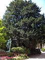 Taxus bacata01.jpg