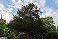 Taxus baccata (20150514-DSC05238).JPG