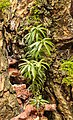Taxus uitgezaaid in een knotwilg. 08-01-2020. (d.j.b). 02.jpg