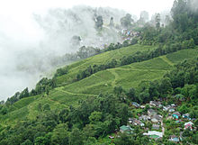 A huge field of tea with a cluster of buildings