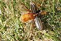 Ten Lined June Beetle - Open.JPG