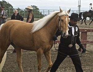 Flaxen gene - Palominos have a gold body and white or ivory mane and tail