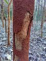 Termite soil sheeting on tree trunk 2.jpg