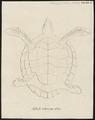 Testudo imbricata - buikzijde - 1700-1880 - Print - Iconographia Zoologica - Special Collections University of Amsterdam - UBA01 IZ11600203.tif