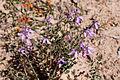 Tetratheca spp. Moora Track, Grampians National Park, Victoria Australia (5044227142).jpg