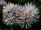 Thalictrum aquilegiifolium20110612 204.jpg