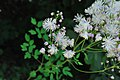 Thalictrum aquilegiifolium (2) (8814289829).jpg