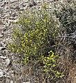 Thamnosma montana 2.jpg