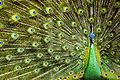 The Beauty of Java Peacock.jpg