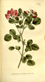 The Botanical Magazine, Plate 335 (Volume 10, 1796).png