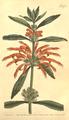 The Botanical Magazine, Plate 478 (Volume 14, 1800).png