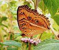 The Buckeye Butterfly.jpg