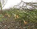 The laying of a traditional hedge (4b) - geograph.org.uk - 1750496.jpg