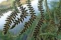 Thelypteris palustris kz03.jpg