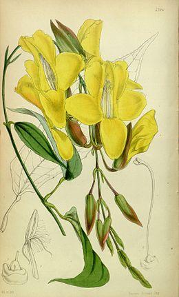 Thunbergia mysorensis Bot. Mag. 80. 4786. 1854